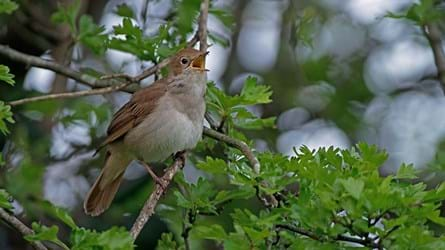 Nightingale in song.