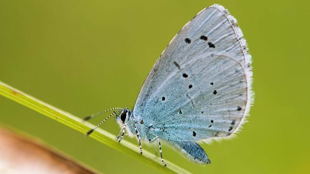 Close up of female holly blue butterfly