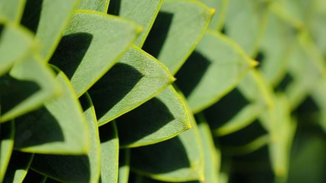 Monkey puzzle spiraling leaves close-up