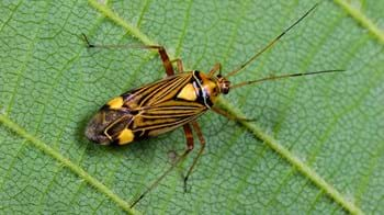 Fine streaked bugkin on leaf