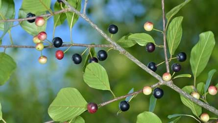 Alder buckthorn branch with berries