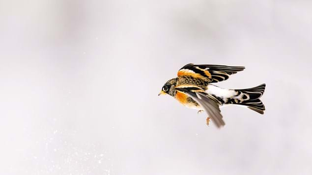 Brambling in flight in winter with snowy background