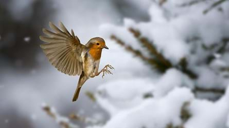 robin landing on snow-covered tree