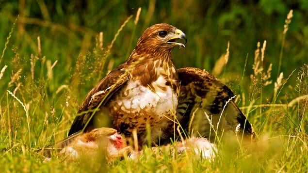 Buzzard feeding on ground