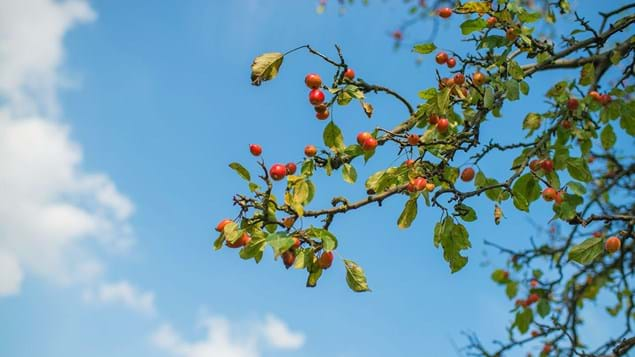 Crab apple fruit in canopy