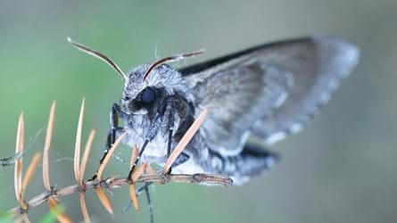 pine hawk moth resting on juniper close-up