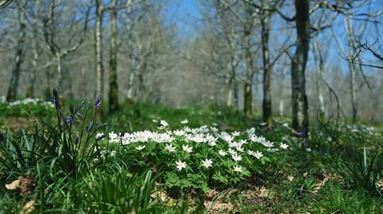 Wood anemones, Drumnaph Wood
