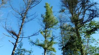 Phytophthora Ramorum causing dieback of Japanese larch