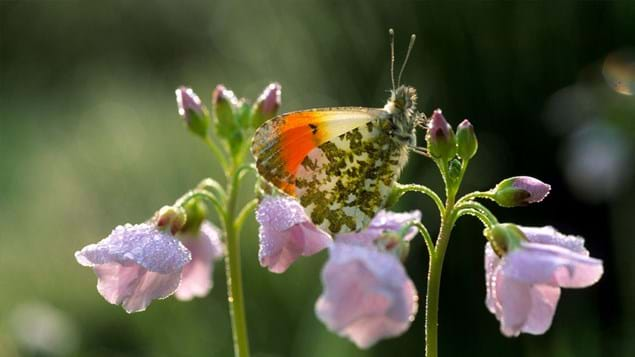 Orange-tip butterfly on cuckoo flower