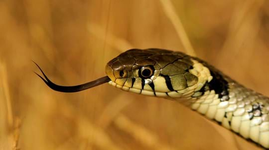 Grass snake close up head shot