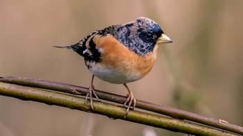 Brambling on twig