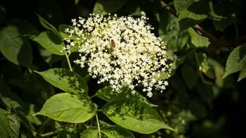 elder flowers and leaves