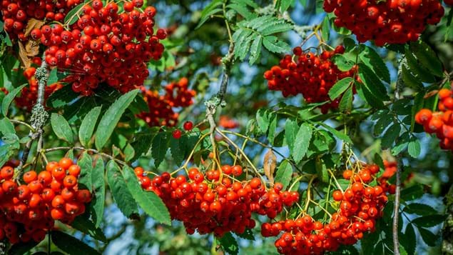 Rowan berries close-up on tree