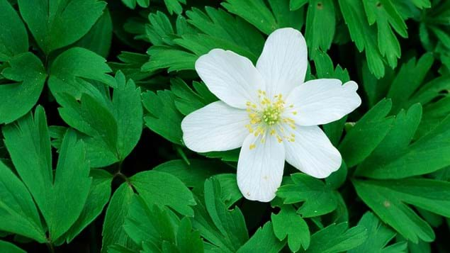wood anemone flower and leaves