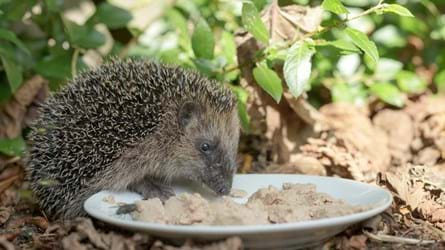 Hedgehog Eating Cat Food Off A Plate In A Garden