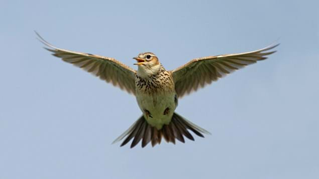 Skylark singing while in flight