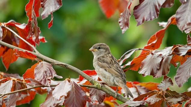 Copper beech and house sparrow