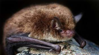 Close up of Daubenton's bat