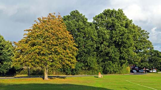 Horse chestnut tree discoloured to yellow after a leaf miner infestation