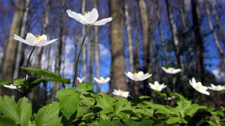 Wood anemones in ancient woodland