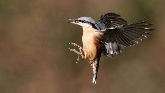 nuthatch in flight preparing to land