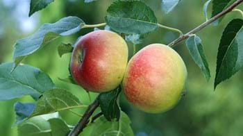 Close up of apples growing on tree
