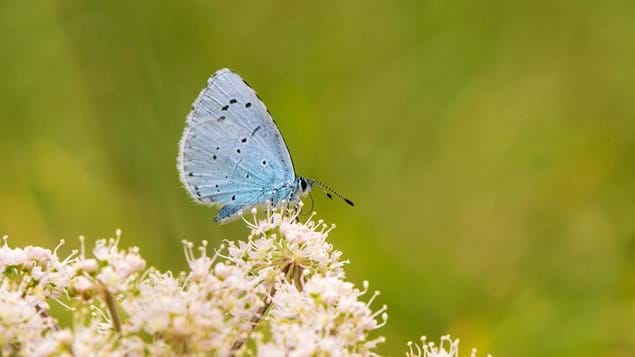 Female holly blue butterfly feeding on hogweed