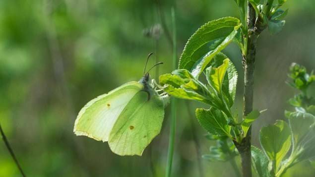 Brimstone butterfly laying eggs on alder buckthorn