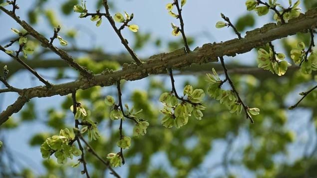 English elm branch in fruit