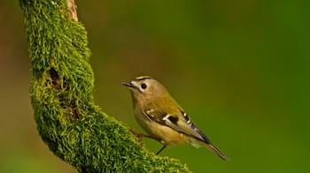Goldcrest on lichen branch
