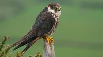 Hobby perched on post