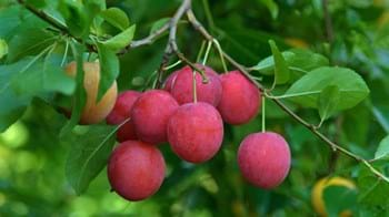 cherry plum fruit