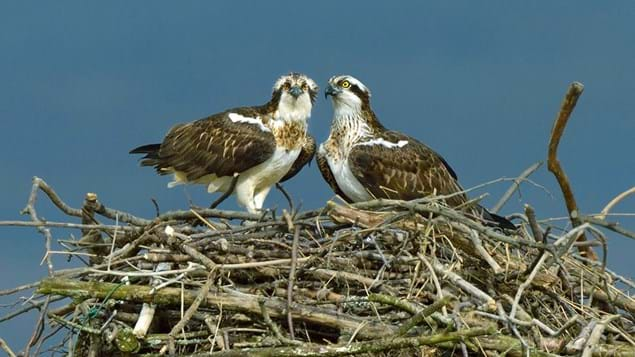 Osprey male and female on nest