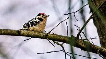 Lesser spotted woodpecker on branch