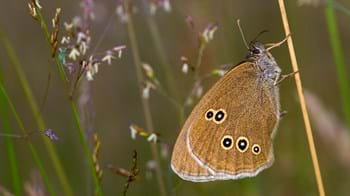Ringlet butterfly perched on grass showing underwing