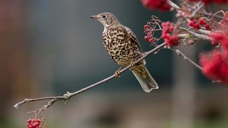 Mistle thrush perched on twig of berry-covered tree