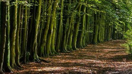 Row of trees, Cwm George and Casehill Woods