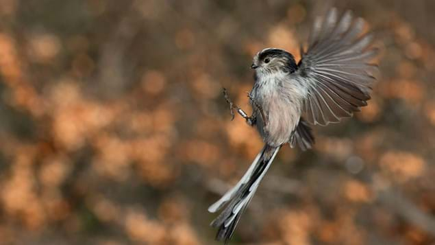 Long-tailed tit in flight