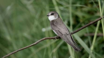 Perched sand martin.