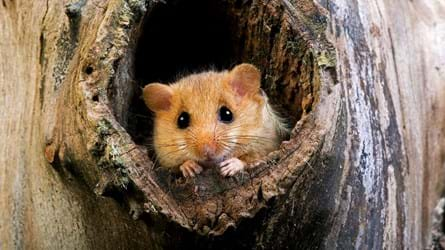 hazel dormouse in hollow tree