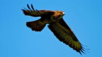Buzzard in flight against bright blue sky