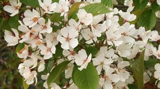 Close up of a cluster of white cherry blossom flowers