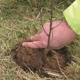 A hand presses soil into the hole around the planted sapling