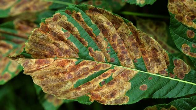 Horse Chestnut Leaf Miner C Ohridella Woodland Trust