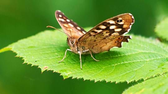 Speckled wood butterfly on a bramble leaf