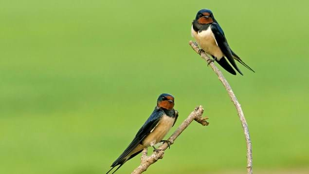 Swallow pair perched on branch