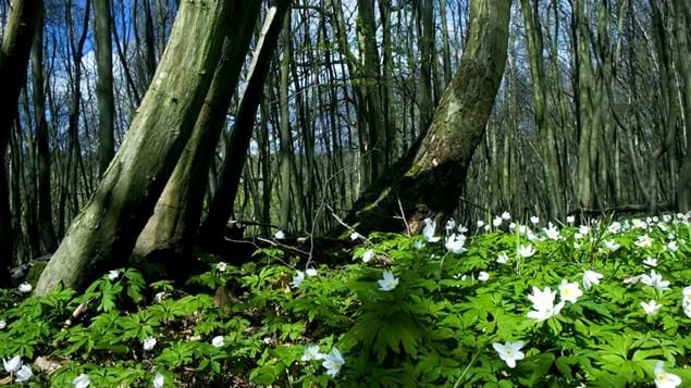 Wood anemones, Brede High Woods