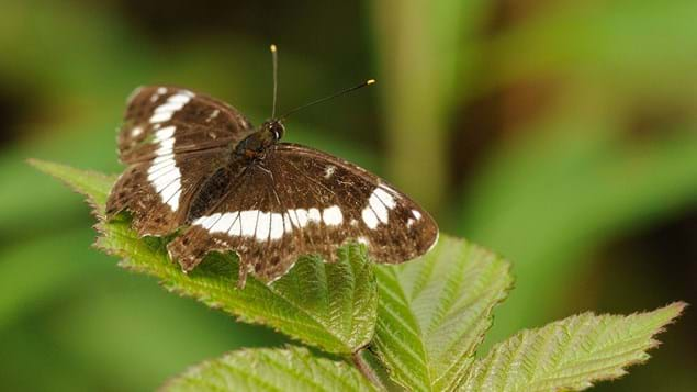 White admiral butterfly perched on leaf showing white markings on upperwing