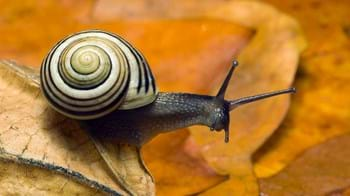 White-lipped banded snail on autumn leaves