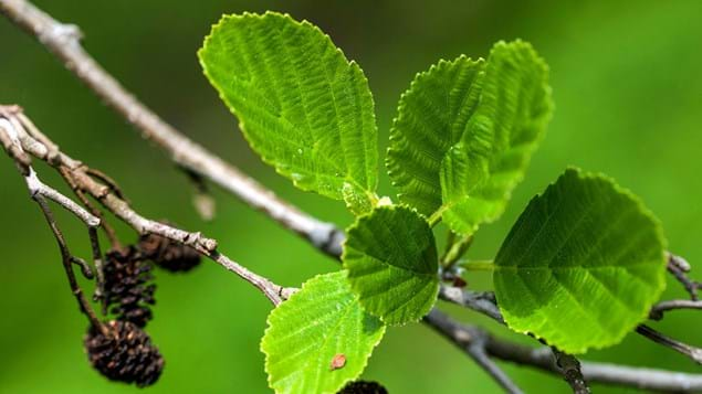 Alder tree leaves close up